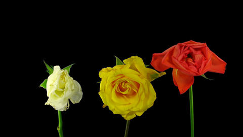 Time-lapse drying three roses winter bouquet with ALPHA Stock Video Footage