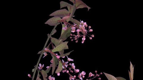 Time-lapse of blooming bird cherry branch with ALPHA Stock Video Footage