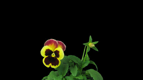 Time-lapse of growing and opening violet flower with ALPHA Stock Video Footage