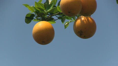 Oranges on a tree Stock Video Footage