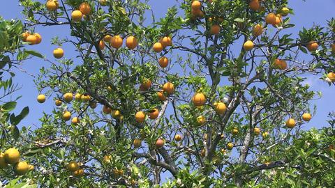 Orange tree Stock Video Footage