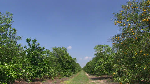 Orange Grove wide path HD Stock Video Footage
