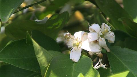 Blossom Orange Tree Stock Video Footage