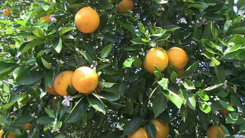 Oranges On Tree Stock Video Footage