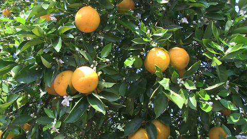 Oranges On Tree Footage