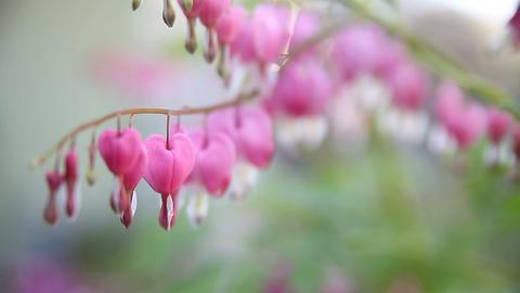 bleeding heart flowers Stock Video Footage