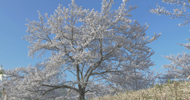 4K_桜 cherry blossoms Stock Video Footage
