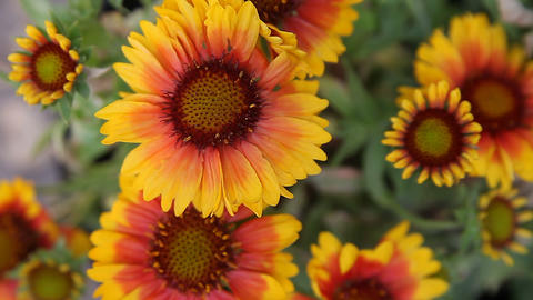 gazania flowers in sun and shade Stock Video Footage