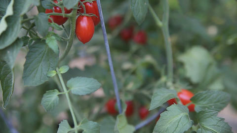 ripe cherry tomatoes Stock Video Footage