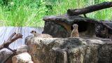 Meerkats in nature Footage