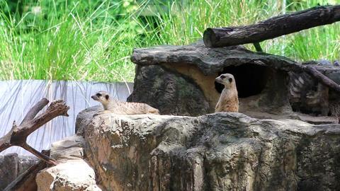 Meerkats in nature Stock Video Footage
