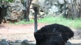 Ostrich Bird stock footage