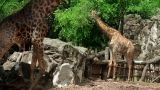 Giraffe couple Footage