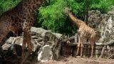 Giraffe couple Footage