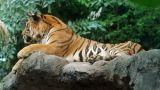 Tiger Footage