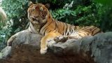 Epic Tiger Footage