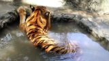 Tiger in water Footage