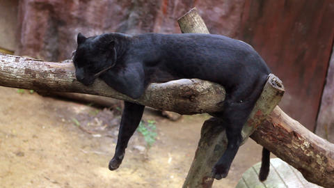 panthera sleeps Stock Video Footage