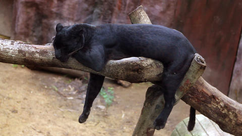 panthera sleeps Stock Video Footage