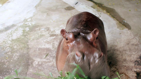 hippopotamus eating grass Stock Video Footage