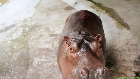 hippopotamus eating grass Stock Video Footage