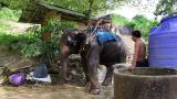 Elephant And Driver  stock footage