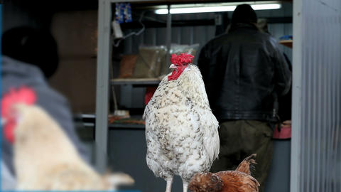 white rooster Stock Video Footage
