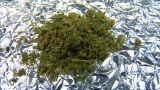 10634 radial dolly cannabis marijuana Footage