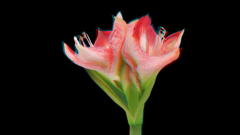 Stereoscopic 3D time-lapse of opening amaryllis Minerva 2 (combo 1080p) Footage