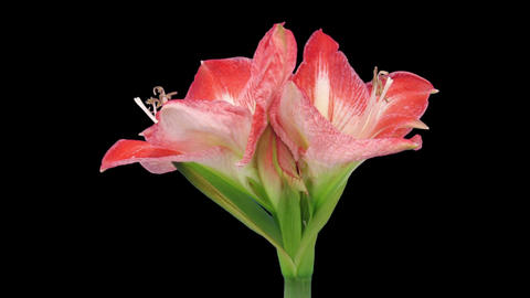 Stereoscopic 3D time-lapse of opening amaryllis Minerva 2... Stock Video Footage
