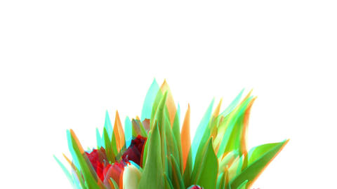 Stereoscopic 3D time-lapse of opening tulip bouquet 1 combo Stock Video Footage
