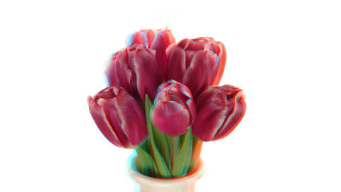 Stereoscopic 3D time-lapse of opening red tulips 1 (combo 1080p) Footage
