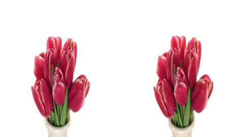 Stereoscopic 3D time-lapse of opening red tulips 1 (combo... Stock Video Footage