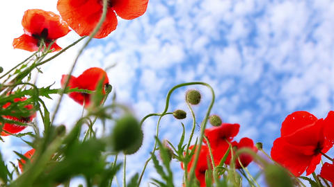 Red Poppies on Background with Blue Sky Footage