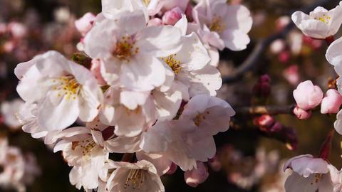 Sakura 134 Footage