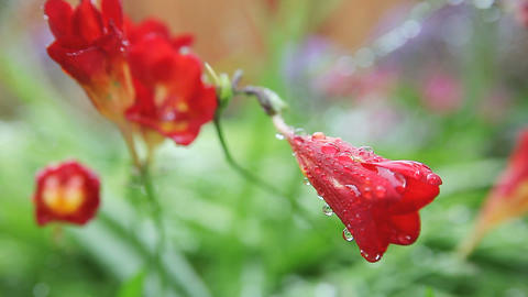 Freesias After A Rain stock footage