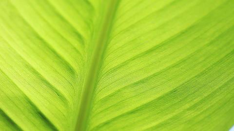 closeup of canna leaf Footage