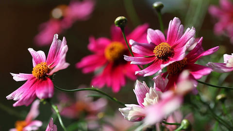 pink coreopsis flowers Footage