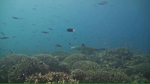 Whitetip Reef Shark Swims Over A Coral Reef stock footage