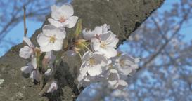 4K_さくら_cherry blossoms Footage
