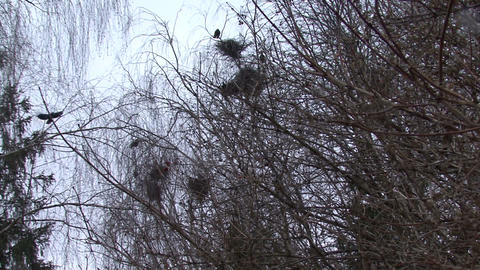 Flock Of Crows Flying Around Nests stock footage