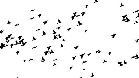 Birds Loop 2 stock footage