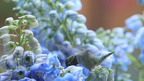 hummingbird with blue delphinium flowers Footage