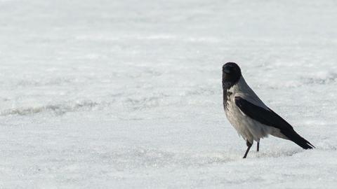 Grey crow Footage