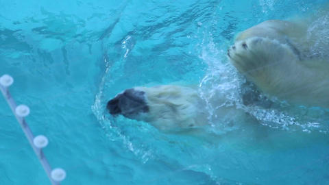 Polar Bear Swimming In The Water stock footage