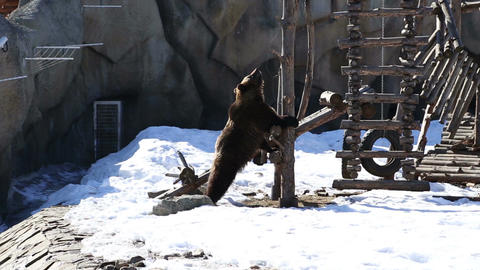 Brown bear in a big enclosure Live Action
