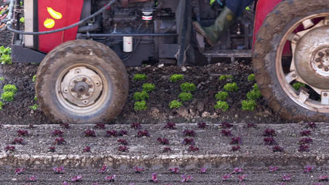 Tractor irrigating salad seedlings Live Action