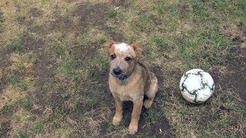 Puppy Pleading For Football Or Soccer Ball Play stock footage