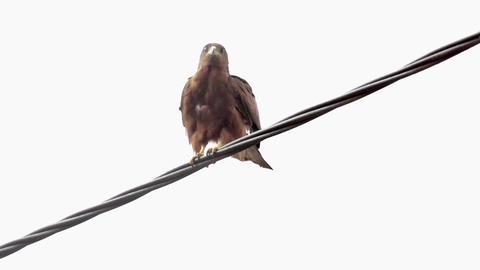 Black Kite on a wire Footage