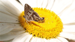 Little butterfly on a daisy Footage